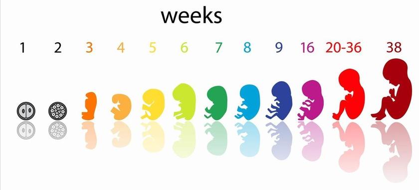 sarcina la 8 saptamani
